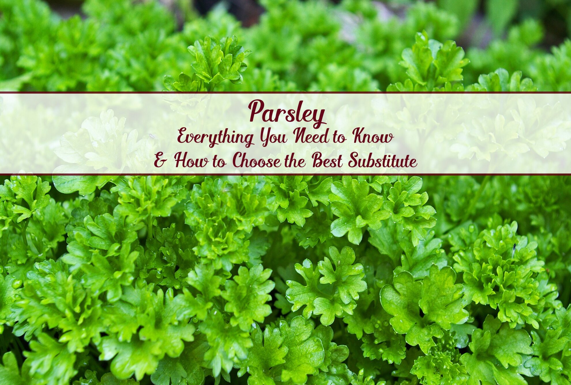 All About Parsley And How To Choose The Best Substitute